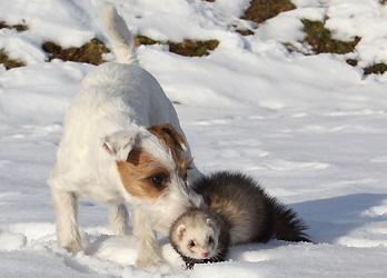 Hund Frettchen spielen Schnee Terrier seltene Tierfreundschaft Chilli