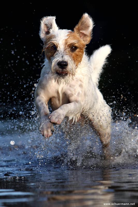 Rednock Parson Russell Terrier Wasserarbeit schwimmen Tropfen