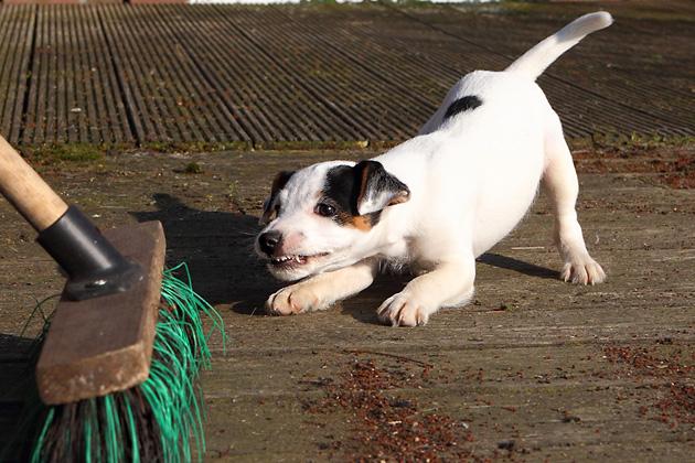 Hund Welpe Besen spielen bellen fegen Terrier Abby