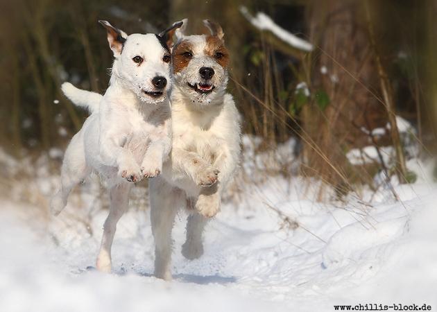 Parson Russell Terrier Jack Chilli Abby zwei spielen rennen Schnee Winter dicht zusammen