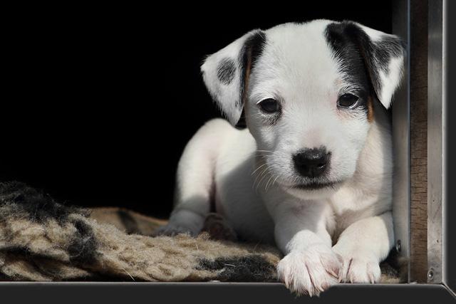 Nanny McPhee vom Räuberschlag Abby Chilli Chills Blog Block Parson Russell Terrier Welpe
