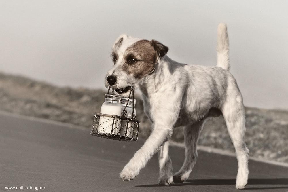 Parson Russsell Terrier trimmen frisch getrimmt Rauhhaar Chilli Rednock