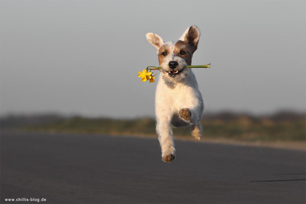 Parson Russsell Terrier trimmen Rennen Laufen Spass Hund Rauhhaar Chilli Rednock