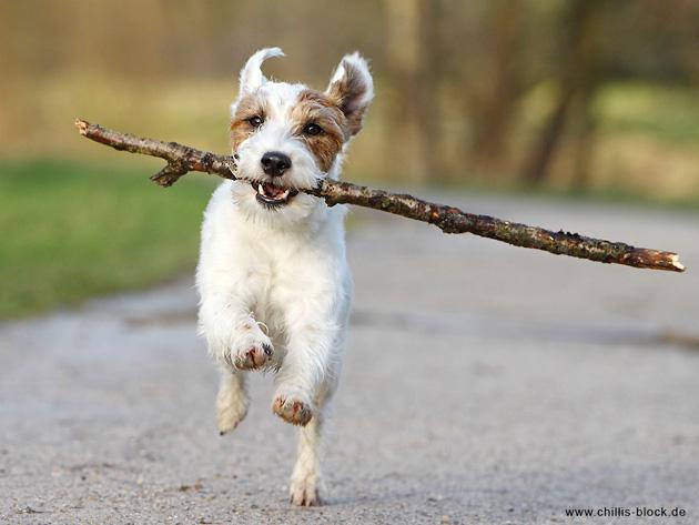 Hund Terrier Stock Spaß strahlen Freude glücklich spielen Chilli Chillis Block Blog
