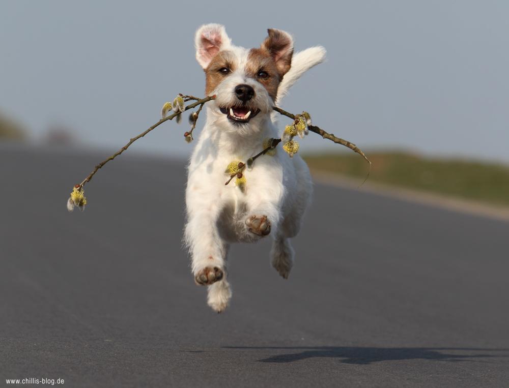 Parson Russsell Terrier Chilli Rednock