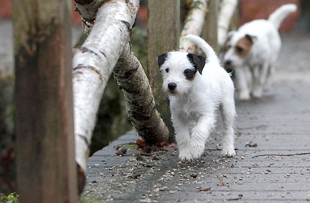 Parson Russell Terrier Welpe vom Räuberschlag Chilli Chillis Blog Block