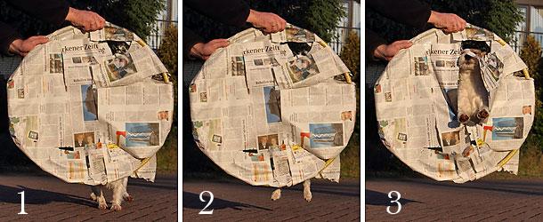 Terrier Hund Trick Reifen springen Papier Zirkus Chilli Parson