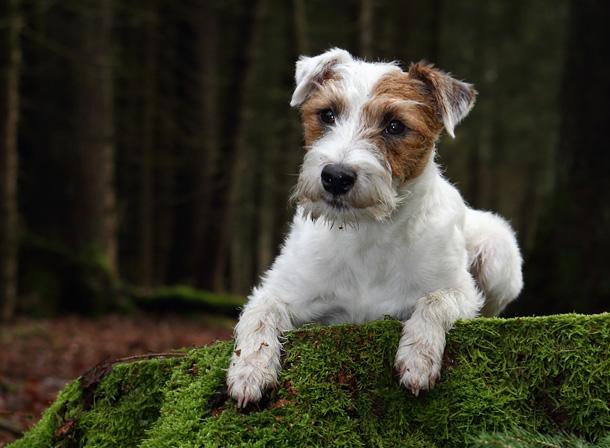 Parson Russell Terrier Chilli Wald Wurzel Moos Herbst Winter Hund