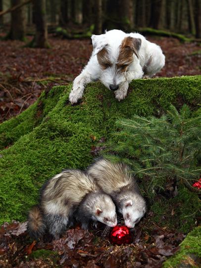 Frettchen Hund Terrier Wald spielen gemeinsam Chilli